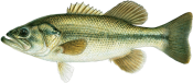 Fish species - largemouth bass