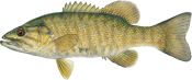 fish species - smallmouth bass