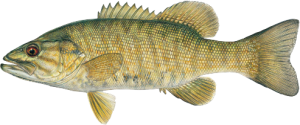 SmallmouthBass