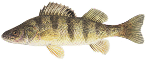lunker awards perch
