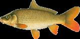 fish species - carp